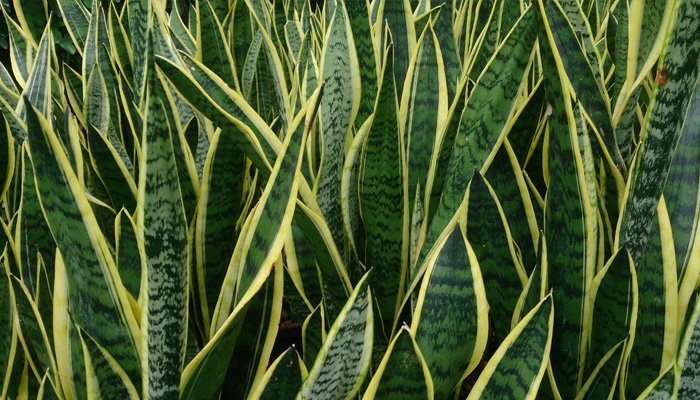 Snake Plant Indoor Plants