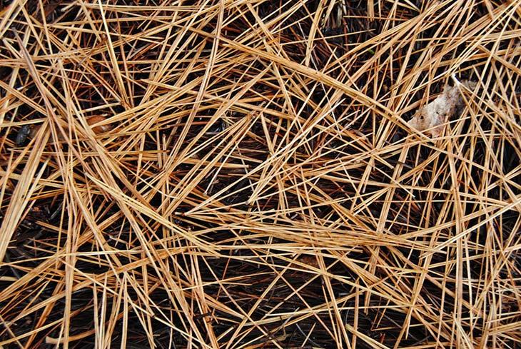 Pine needles mulch