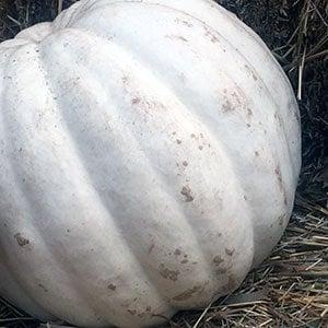 Crystal Star Pumpkin