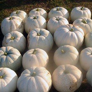 Lumina Pumpkin