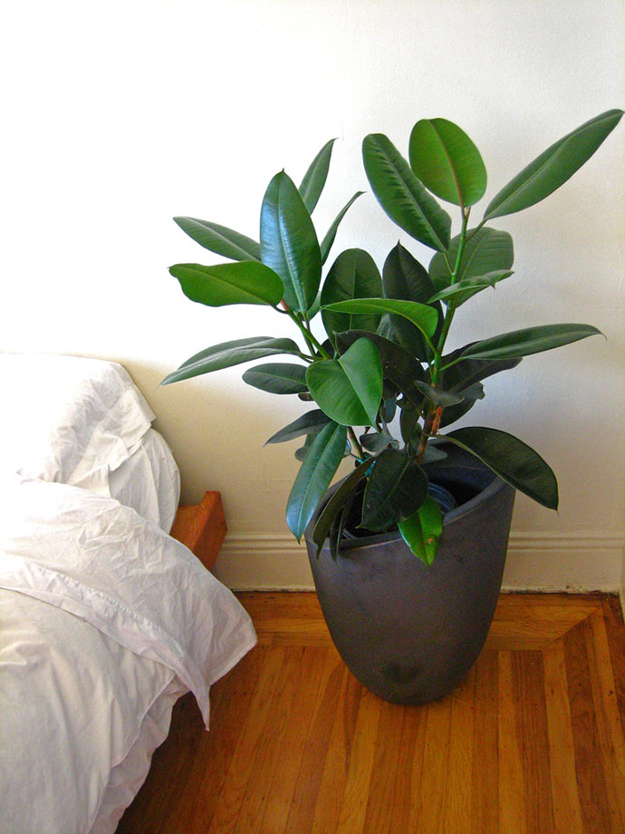 Rubber Plant Care Houseplant 12